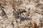 Cicindela sylvatica